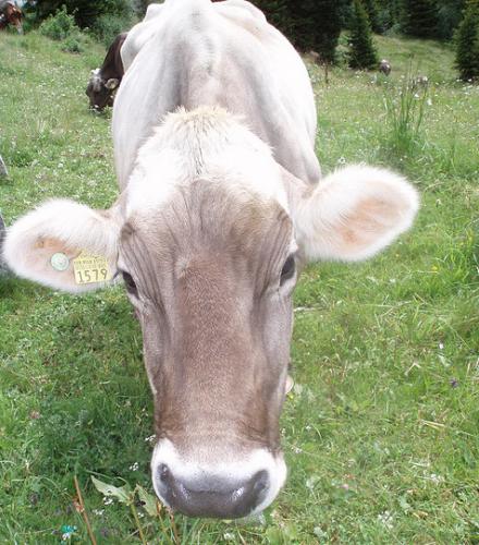 Zwitserse Alpen loslopende koe